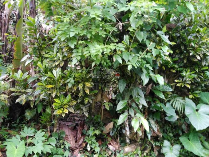 Tabanan-Bali-coffee-plantation-for-sale-FH-0710-a-min