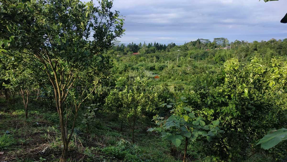 Orange-Plantation-Kintamani-Bali-for-sale-LS7022-b-min