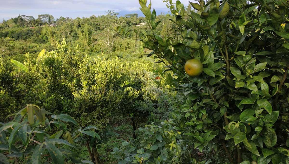 Orange-Plantation-Kintamani-Bali-for-sale-LS7022-d-min