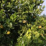 Orange-Plantation-Kintamani-Bali-for-sale-LS7022-e-min