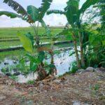 Pererenan-Bali-land-for-sale-FH-802-a-min
