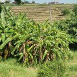 Land-for-sale-Pererenan-Bali-FH-0837-d